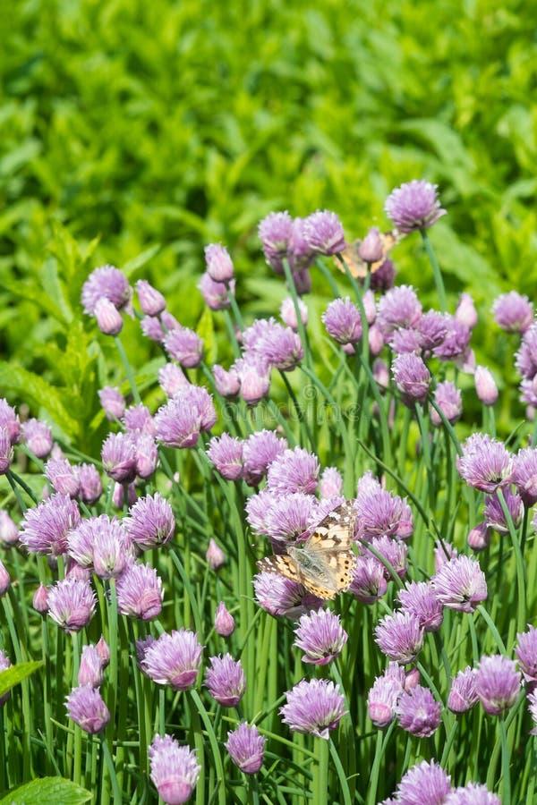 Szczypiorki i pomarańczowy motyl w ogródzie obraz stock