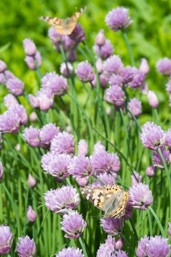 Szczypiorki i pomarańczowy motyl w ogródzie fotografia royalty free