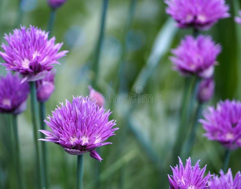 Szczypiorki w kwiacie fotografia royalty free