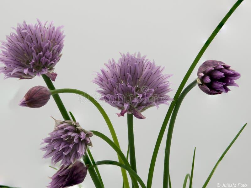 Szczypiorki w kwiacie obrazy stock