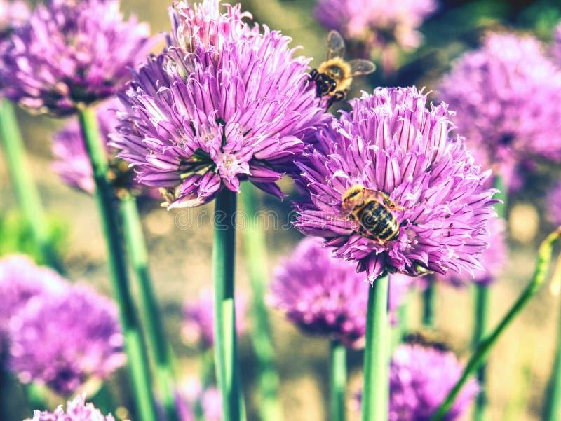Szczypiorku cebulkowy kwiat z pszczołami Różowy kwiatu kwiat w ogródzie obraz stock