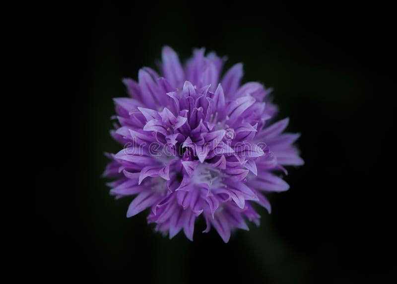 Szczypiorku kwiat na Czarnym tle fotografia stock