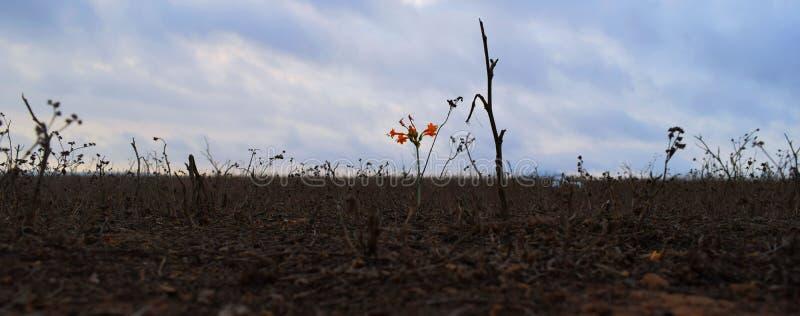 Szczypiorku kwiatu Stenomesson coccineum obrazy stock