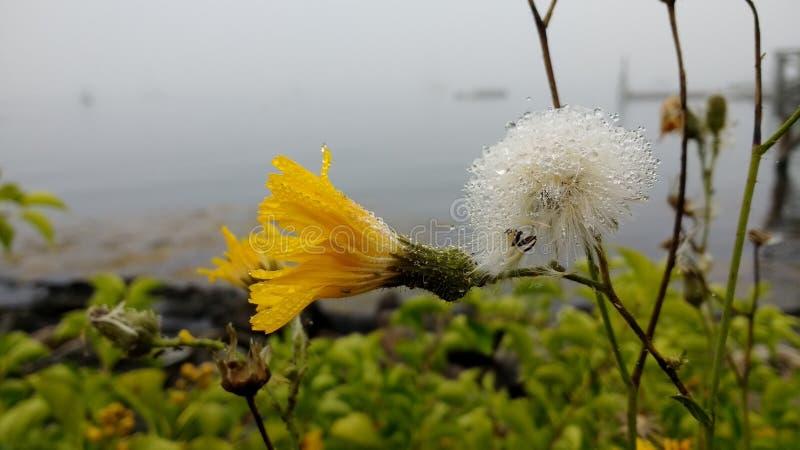 Szczyt wyspa Kwitnie z rosą obrazy stock