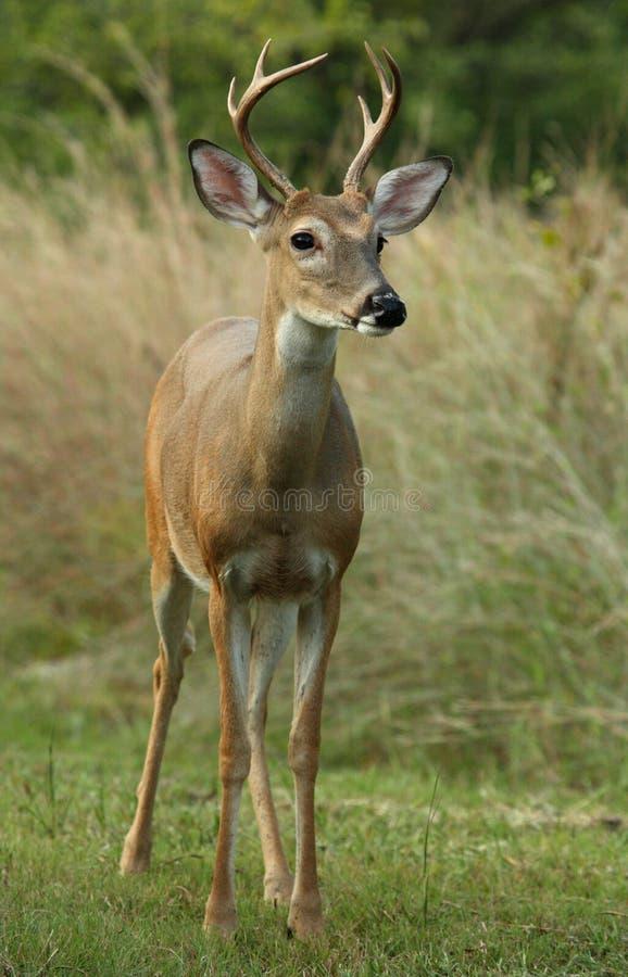 sześć jeleni punktu śledzić white zdjęcie royalty free