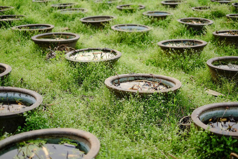 Szene: Asiatischer Chinese Lotus Garden stockbild