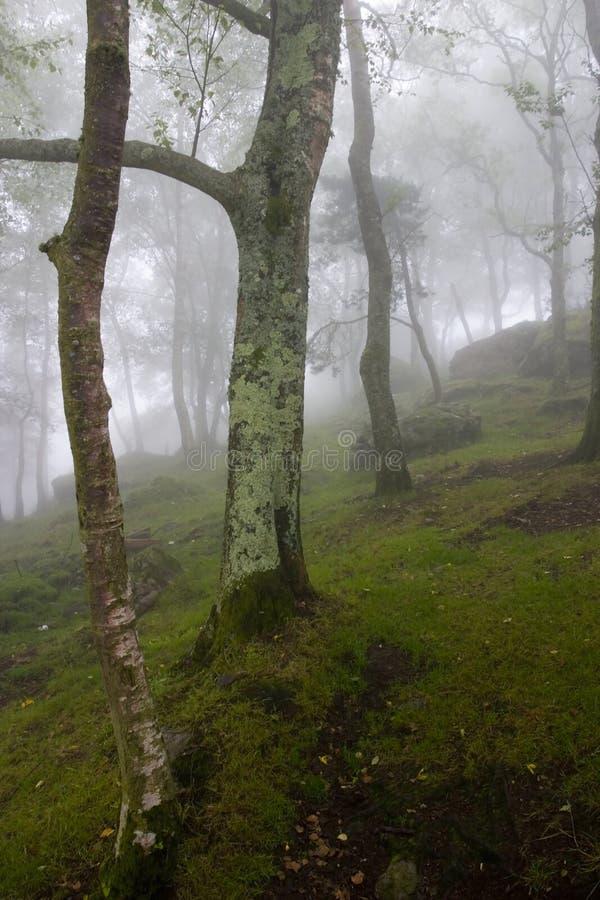 Szene des Innenraums eines Waldes unter dem Nebel lizenzfreies stockfoto