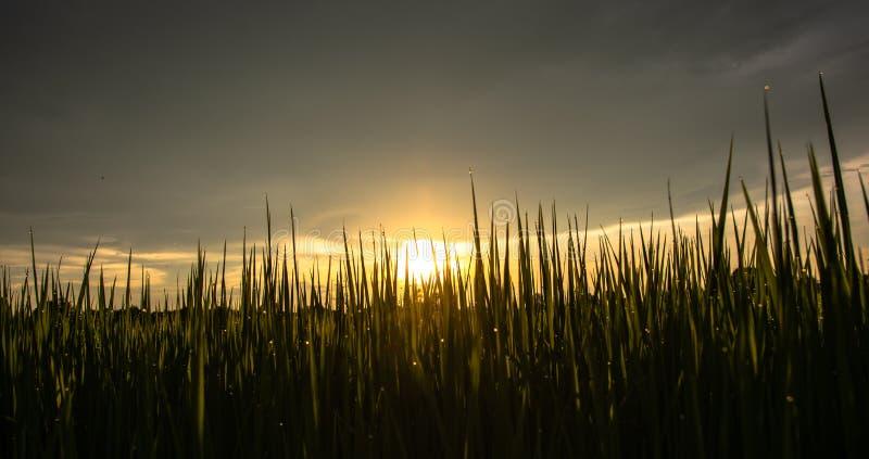 Szene des Sonnenunterganghimmels über dem Reisfeld mit Reflexion des Wassers fällt auf grüne Blätter stockbilder