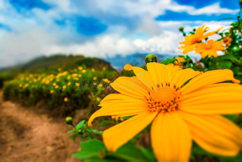Szenennaturhintergrund der mexikanischen Sonnenblume blühender stockbild