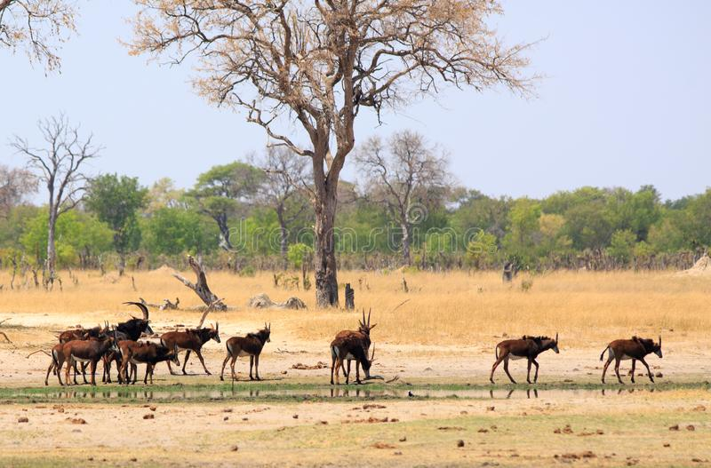 Szenische Ansicht einer Herde der Zobelantilopen auf den afrikanischen Ebenen mit einem Baum- und bushveldhintergrund stockfotos