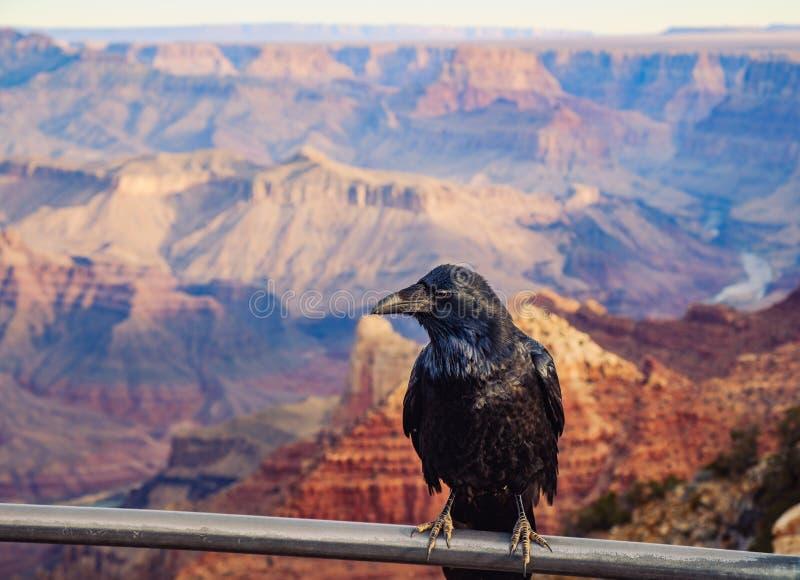 Szenische Ansicht von Grand Canyon mit schwarzem Raben im Vordergrund, USA lizenzfreies stockbild