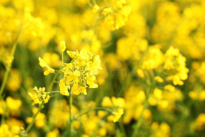 Szenische ländliche Landschaft mit gelbem Vergewaltigungs-, Rapssamen- oder Canolafeld Rapssamenfeld, bl?hende Canolablumen nah o stockfotografie