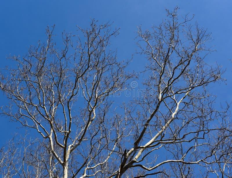 Szenische Landschaft der braunen und weißen Niederlassungen eines Platanenbaums silhouettiert gegen einen blauen Himmel lizenzfreies stockfoto