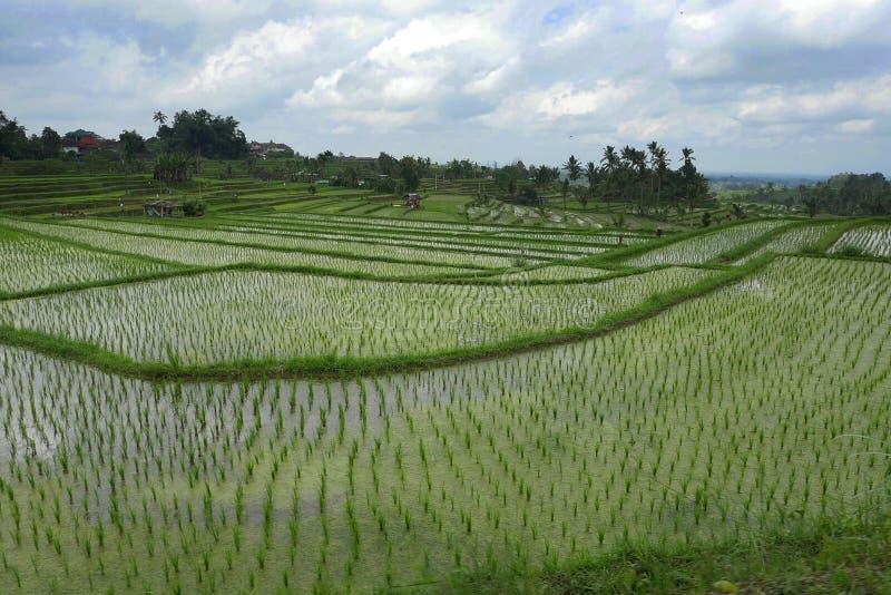 Szenische Panoramalandschaftsansicht des erstaunlichen schönen grünen Reisterrassenreisfelds in Jatiluwih Bali lizenzfreie stockfotografie