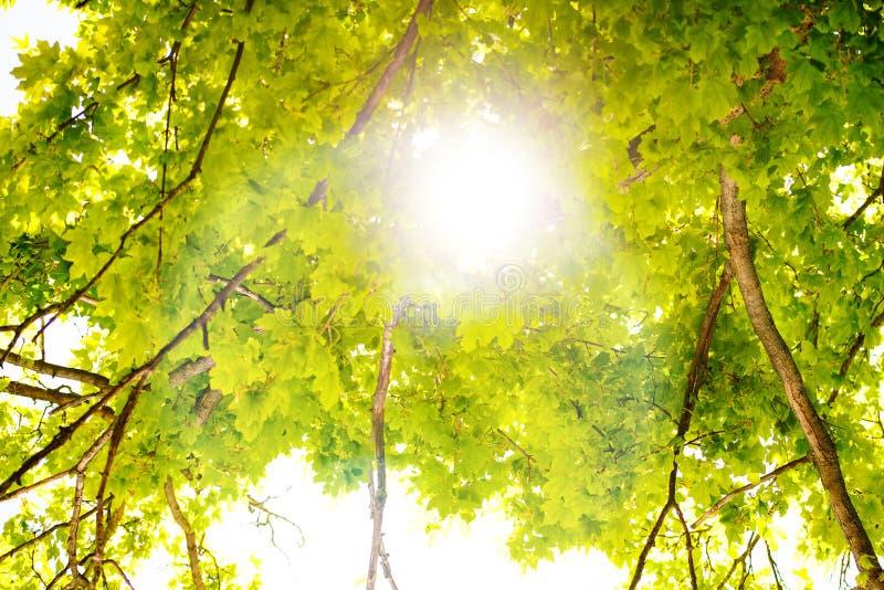 Szenischer Wald von den frischen grünen Laubbäumen gestaltet durch Blätter, wenn die Sonne seine warmen Strahlen durch das Laub w stockbilder