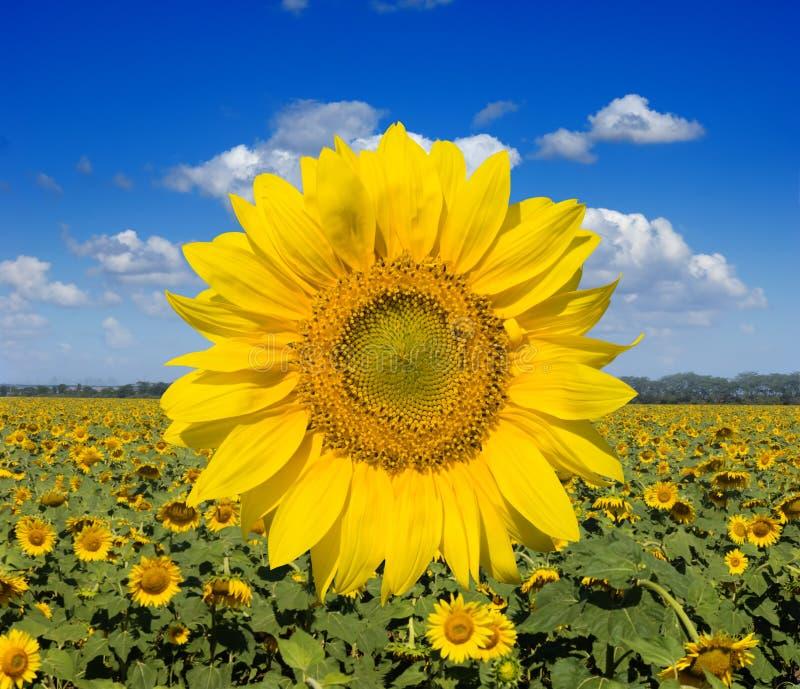 szerocy śródpolni słoneczniki zdjęcie stock