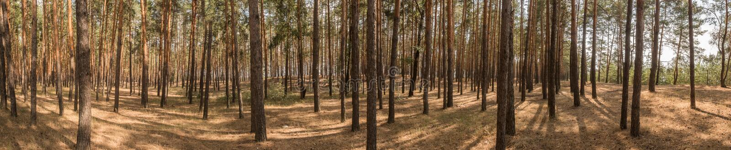 Szeroka panorama, krajobraz stary sosnowy las na jaskrawym słonecznym dniu Cienie od jaskrawego midday słońca zdjęcie stock