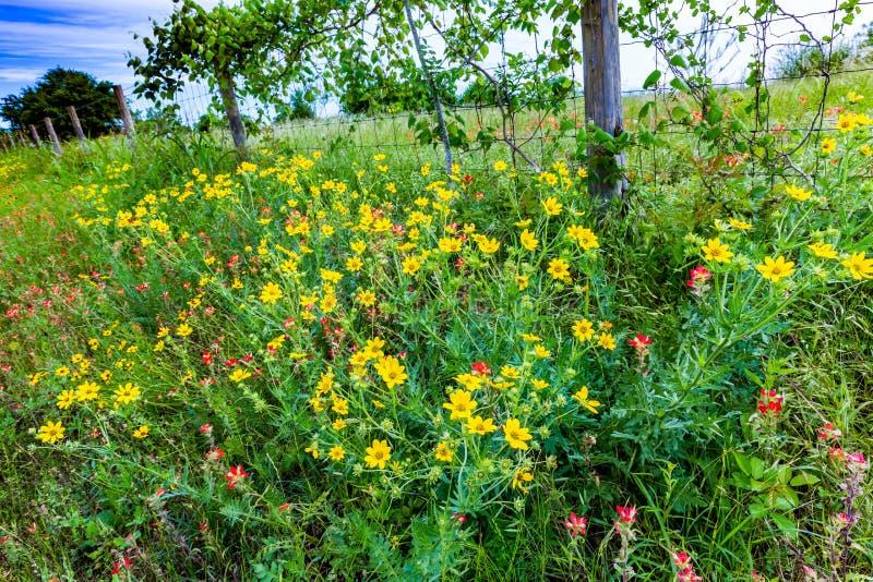 Szeroka rozmaitość Teksas Wildflowers zdjęcia stock
