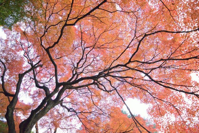 Szeroki kąta krajobraz Japońskiej jesieni Klonowy drzewo obraz stock