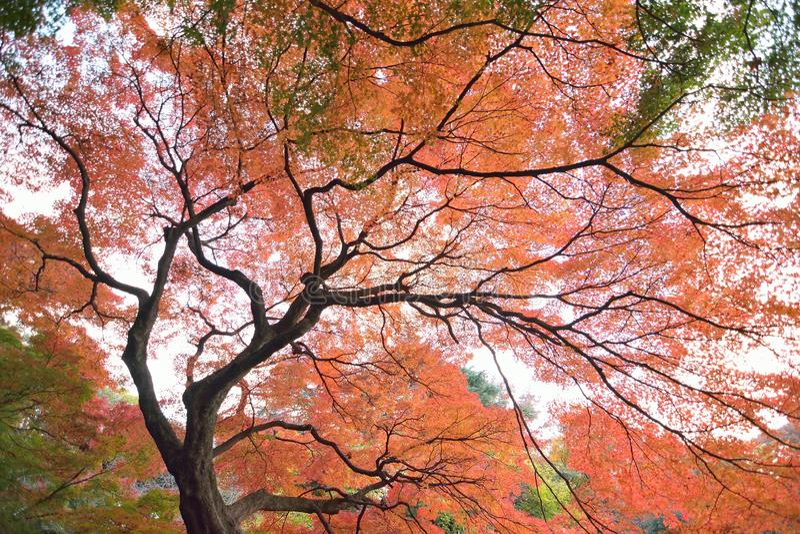 Szeroki kąta krajobraz Japońskiej jesieni Klonowy drzewo obrazy stock