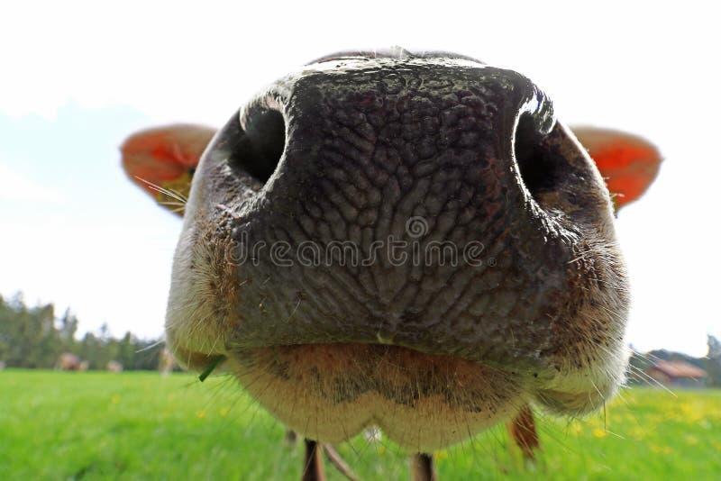 Szeroki kąta widok od nosa krowa zdjęcie stock