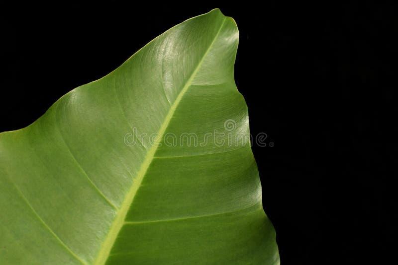 Szeroki liść odizolowywający z czarnym tłem zdjęcie royalty free