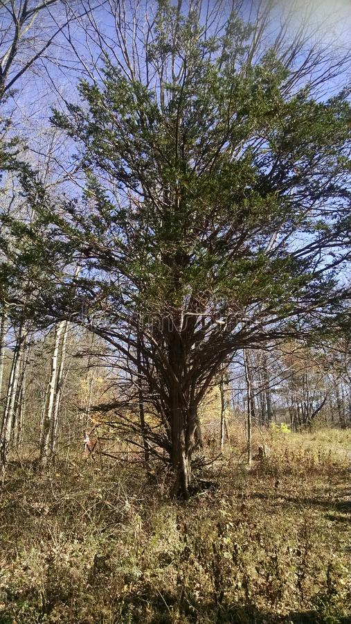 Szeroki rozciągnięty drzewo fotografia stock