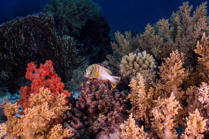 Szeroki strzał Blacktip grouper Epinephelus fasciatus obraz stock