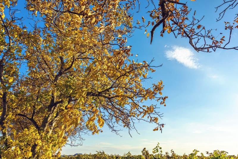 Szeroki strzał drzewo nad winnica ziemia w Moldova zdjęcia stock