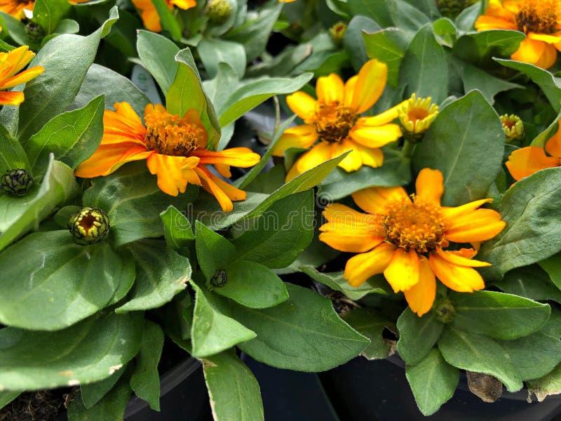 Szeroki strzał kwiatów żółtej zahara zinnia zdjęcia stock