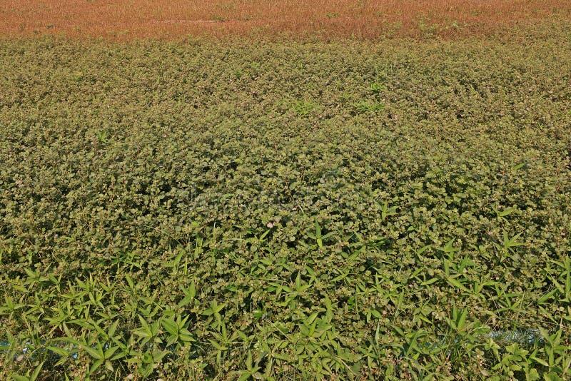 Szeroki urlop świrzepy infestation w rolnictwo produkci terenie obrazy royalty free