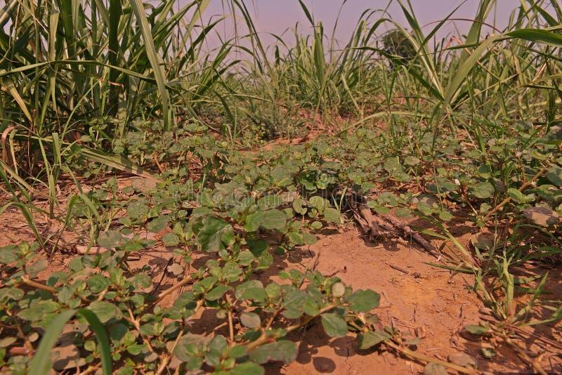 Szeroki urlop świrzepy infestation w trzciny cukrowa polu obrazy stock