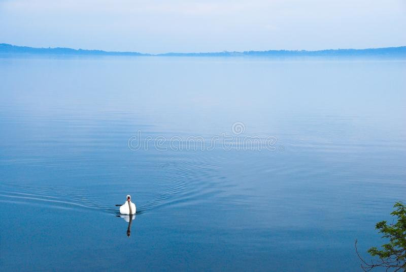 Szeroki widok łabędź w zrelaksowanym jeziorze zdjęcia stock