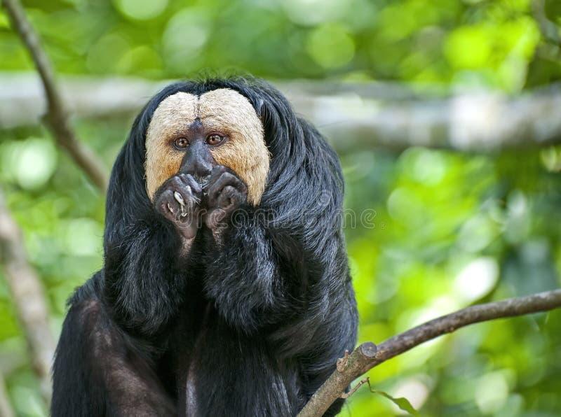 Szerokonose małpy są jedynymi prymasami żyje na Amerykańskim kontynencie, z wyjątkiem istot ludzkich fotografia stock
