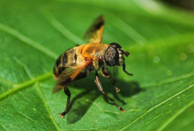 Szerszeń pszczoła obraz stock