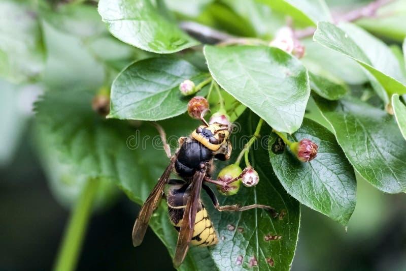 Szersze? zbiera nektar od kwiatono?nego krzaka fotografia stock
