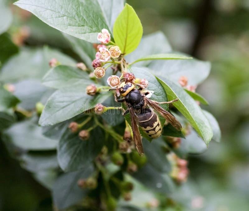 Szersze? zbiera nektar od kwiatono?nego krzaka fotografia royalty free