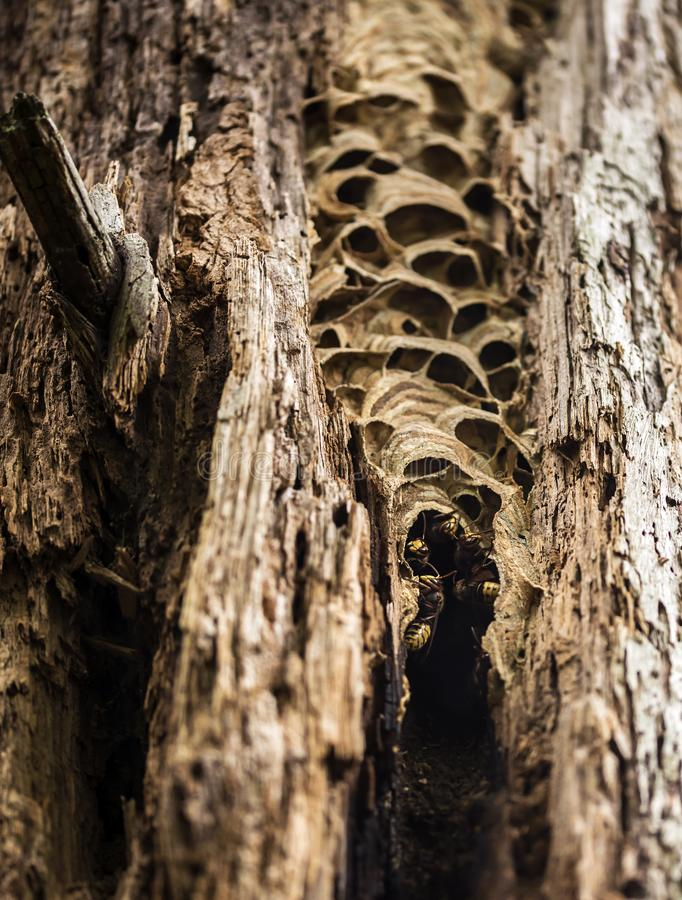 Szerszenia gniazdeczko w drzewnej beli obrazy royalty free