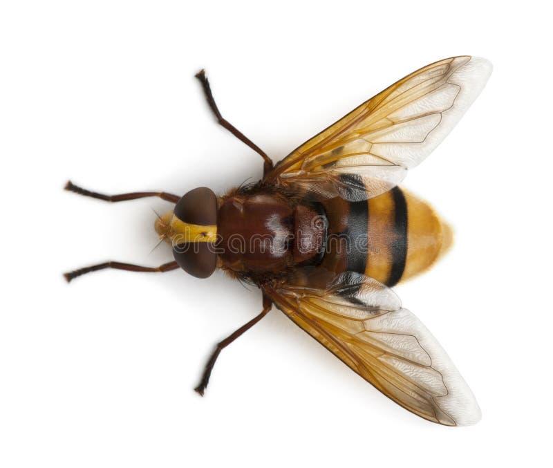 szerszenia hoverfly mimiczny volucella zonaria fotografia stock