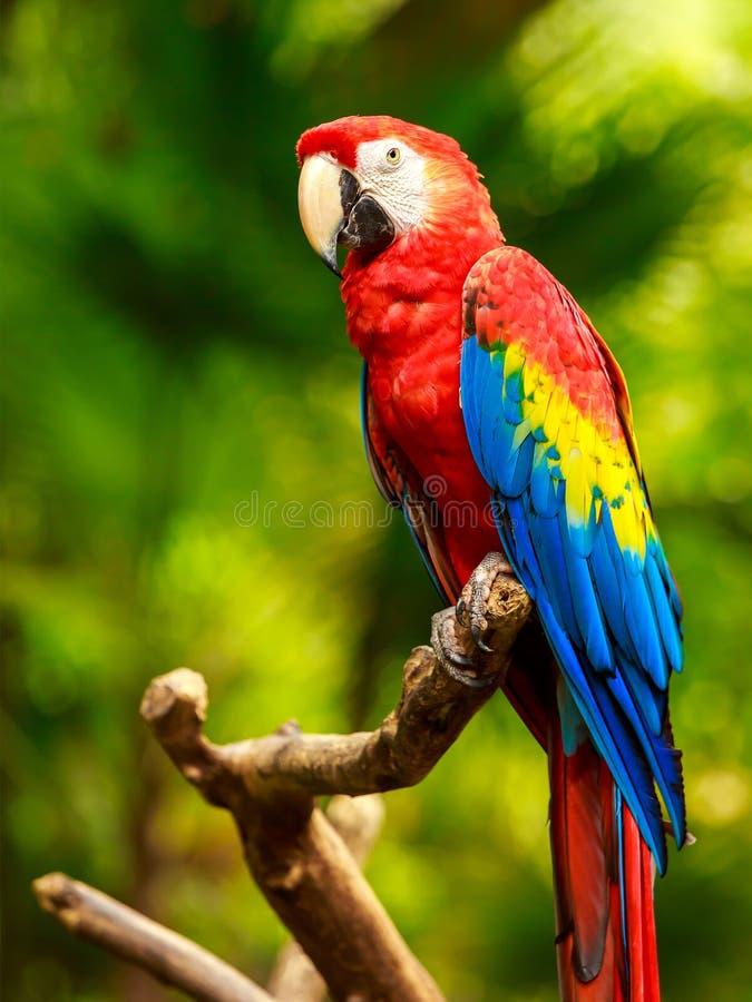 Szkarłatna ary papuga obrazy royalty free