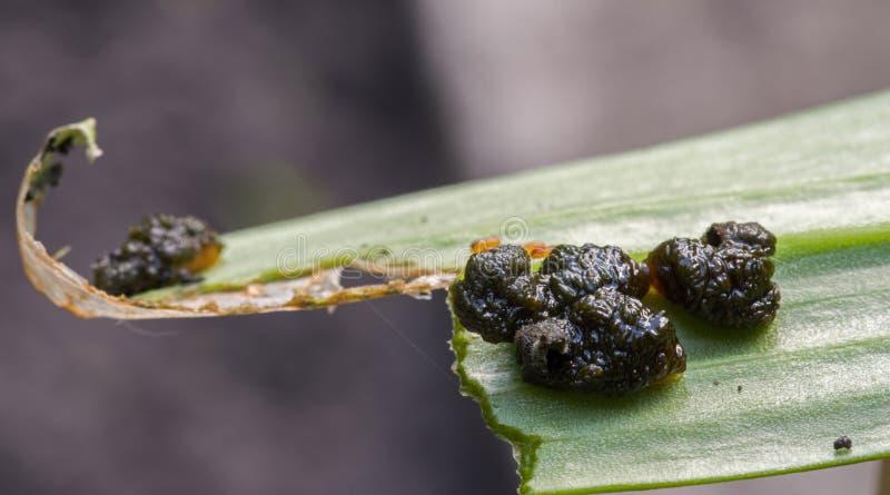 Szkarłatne lelui ścigi larwy jedzą liście leluje obraz royalty free