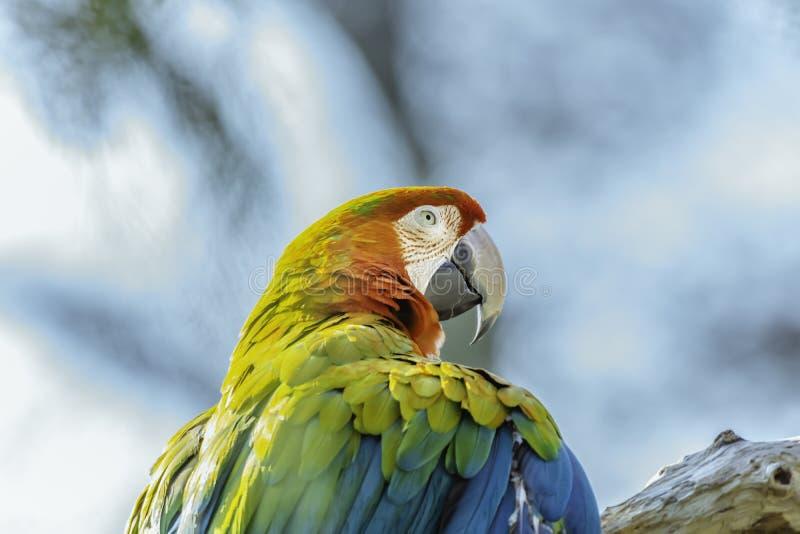 Szkarłatnej ary papuzi tyczenie na gałąź Colourful ptasi portret zdjęcie stock
