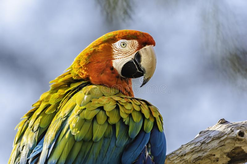 Szkarłatnej ary papuzi tyczenie na gałęziastym i patrzeć in camera Colourful ptasi portret fotografia stock