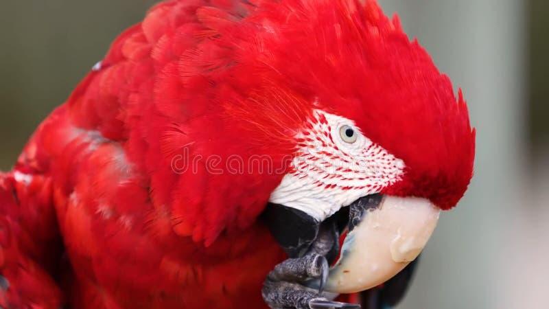 Szkarłatny ary papugi ptak Egzot, zieleń obrazy royalty free