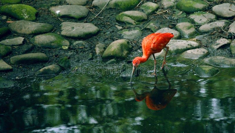 Szkarłatny czerwony ibis zdjęcia royalty free