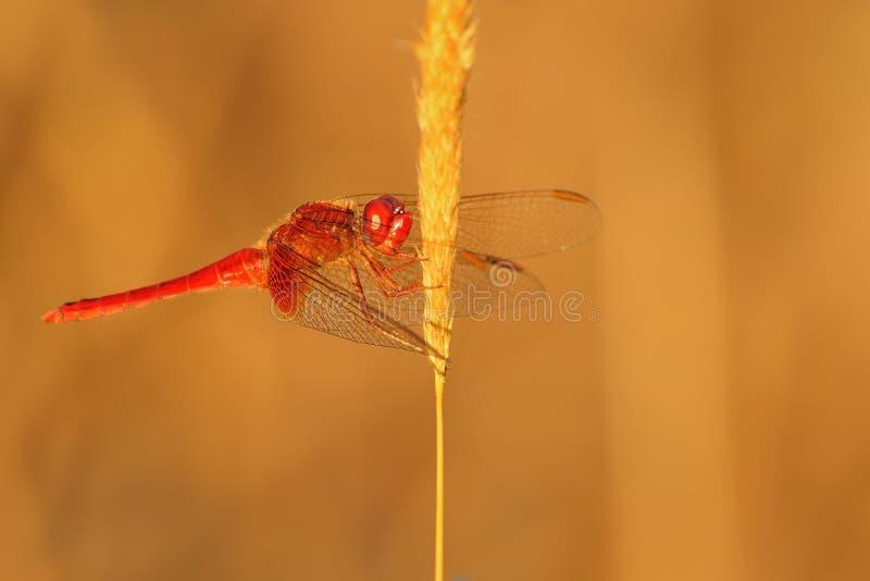 Szkarłatny dragonfly & x28; Crocothemis erythraea& x29; obraz stock