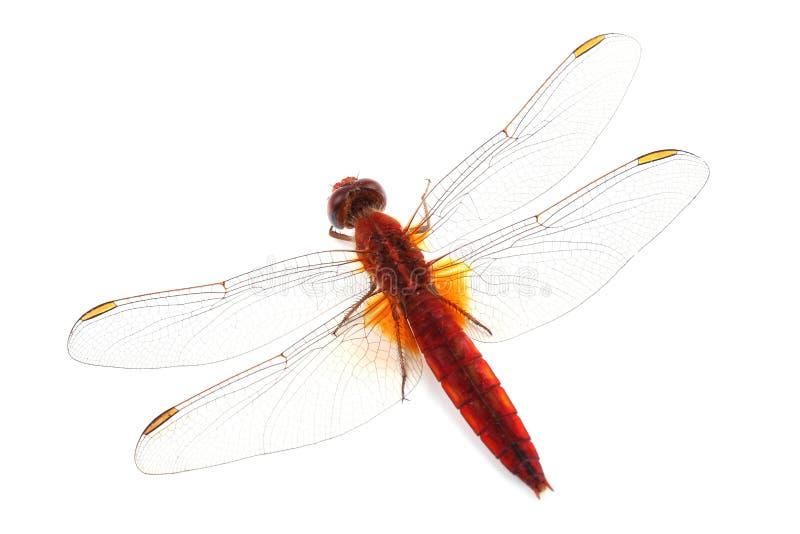 Szkarłatny Dragonfly odizolowywający na bielu (Crocothemis erythraea) obrazy royalty free