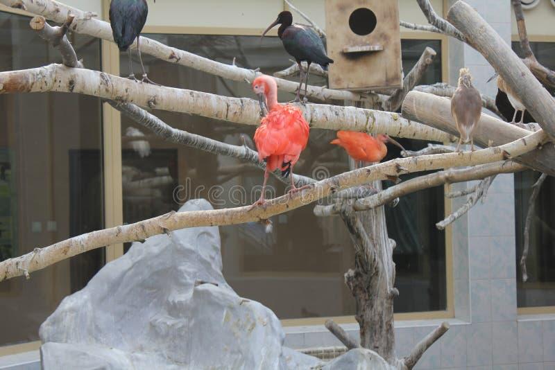 Szkarłatny ibis w zoo 19560 obraz royalty free