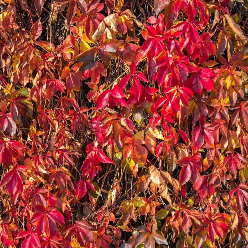 Szkarłatny jesienny tło z dzikimi winogrono liśćmi Purpury, rubinowi spadków liście dzicy winogrona na ogrodzeniu obrazy royalty free
