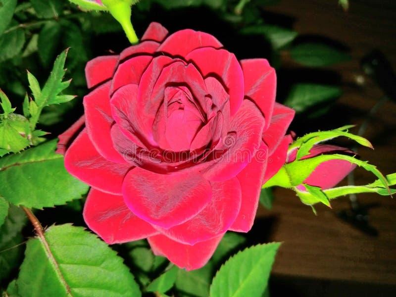 Szkarłatny kwiat obrazy royalty free